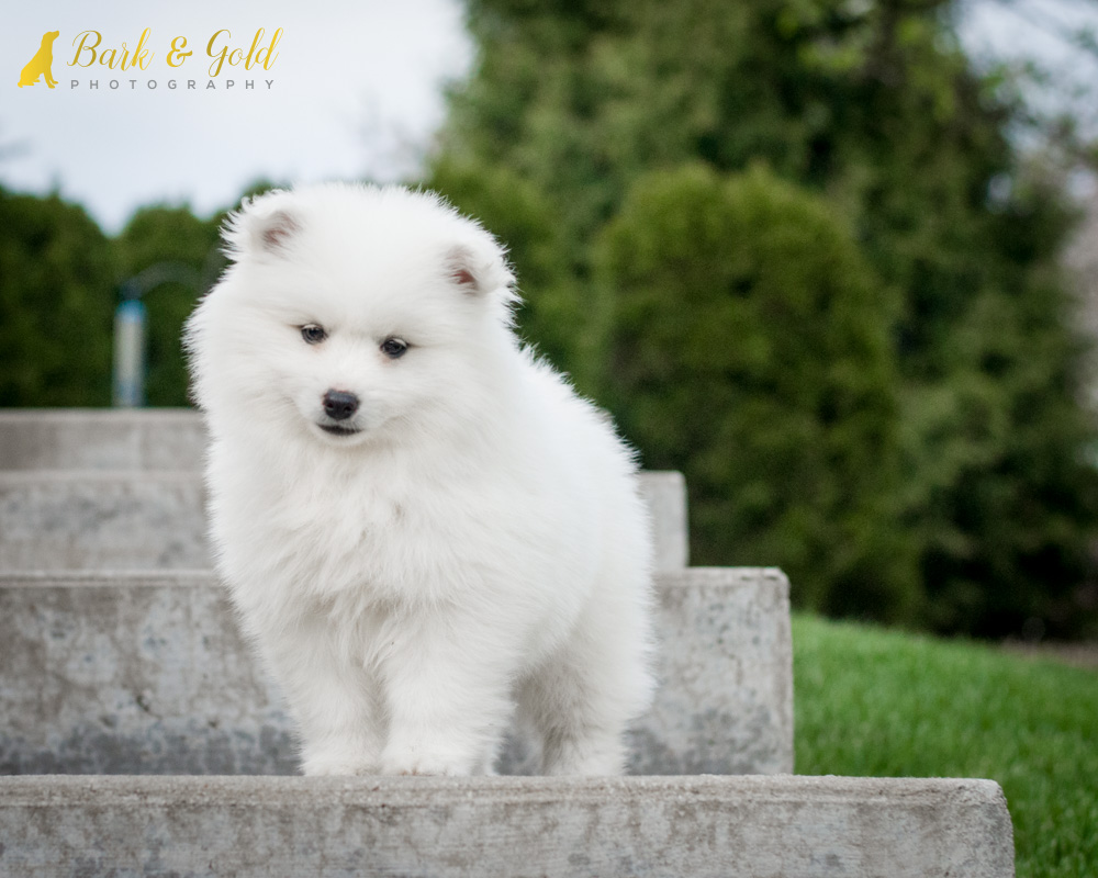 miniature american eskimo dog standing on steps