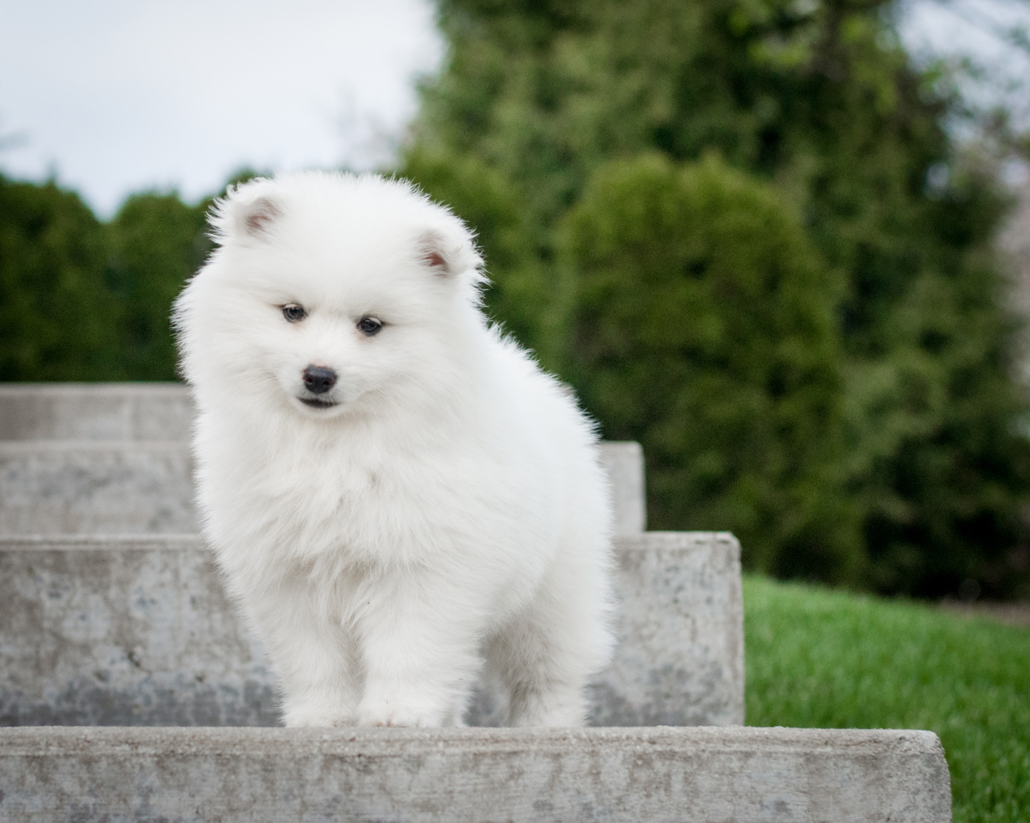 american eskimo puppy poses on stairs