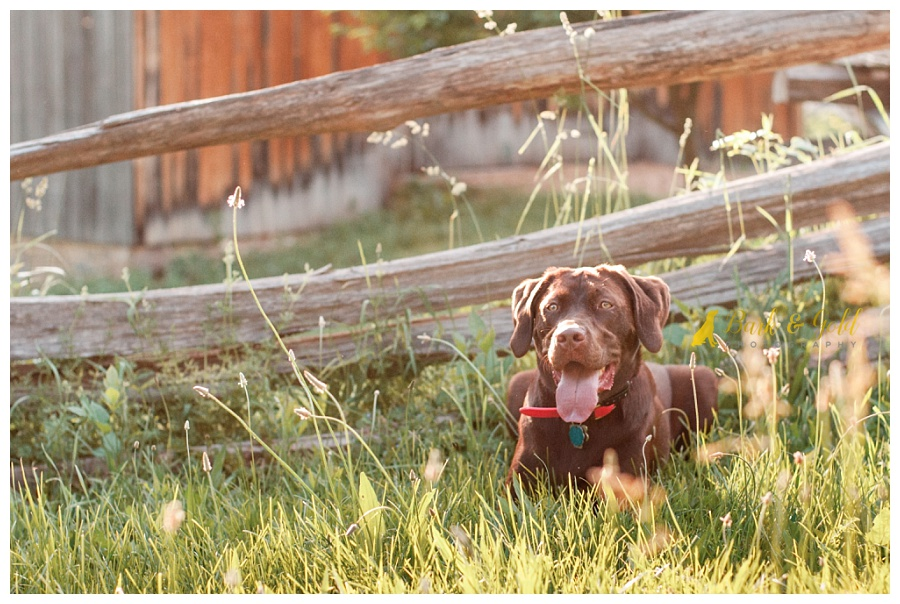 chocolate Lab hiding in tall summer grass