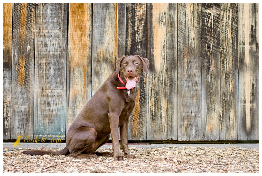 chocolate Lab posing by an old wooden barn door in South Park