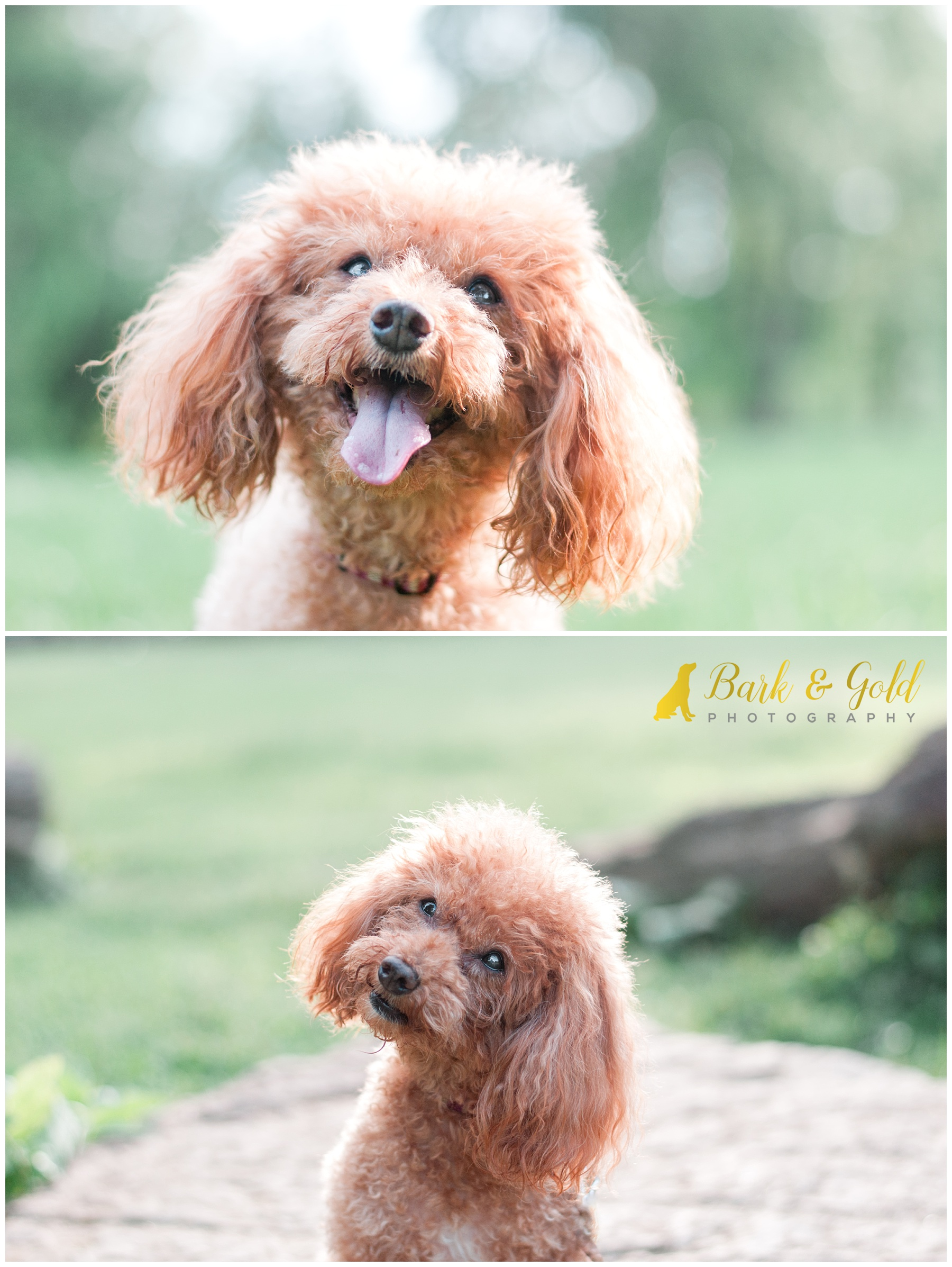 rescued miniature poodle playfully tilts head at South Park