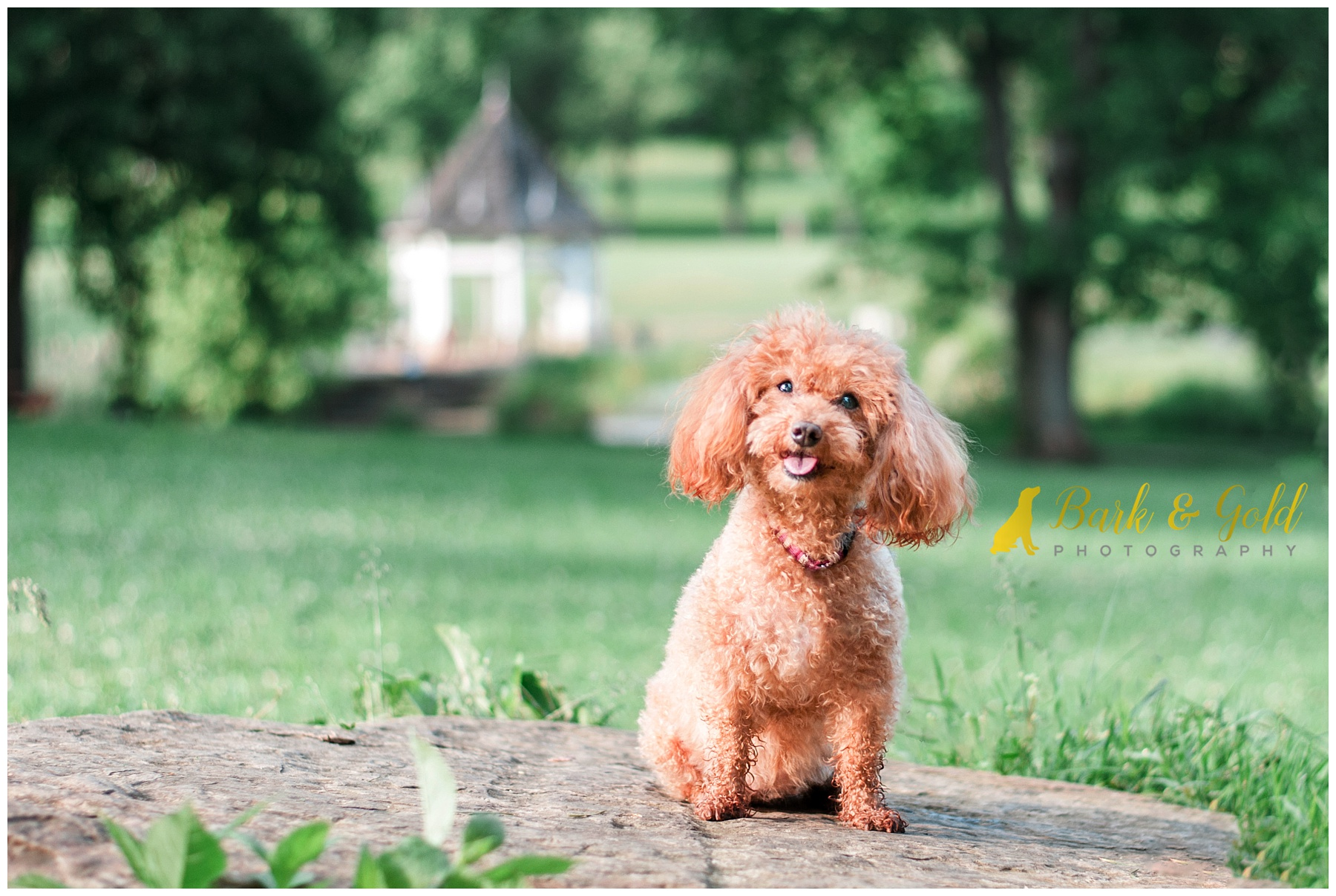 rescued miniature poodle poses on a rock by the Maple Springs Gazebo in South Park