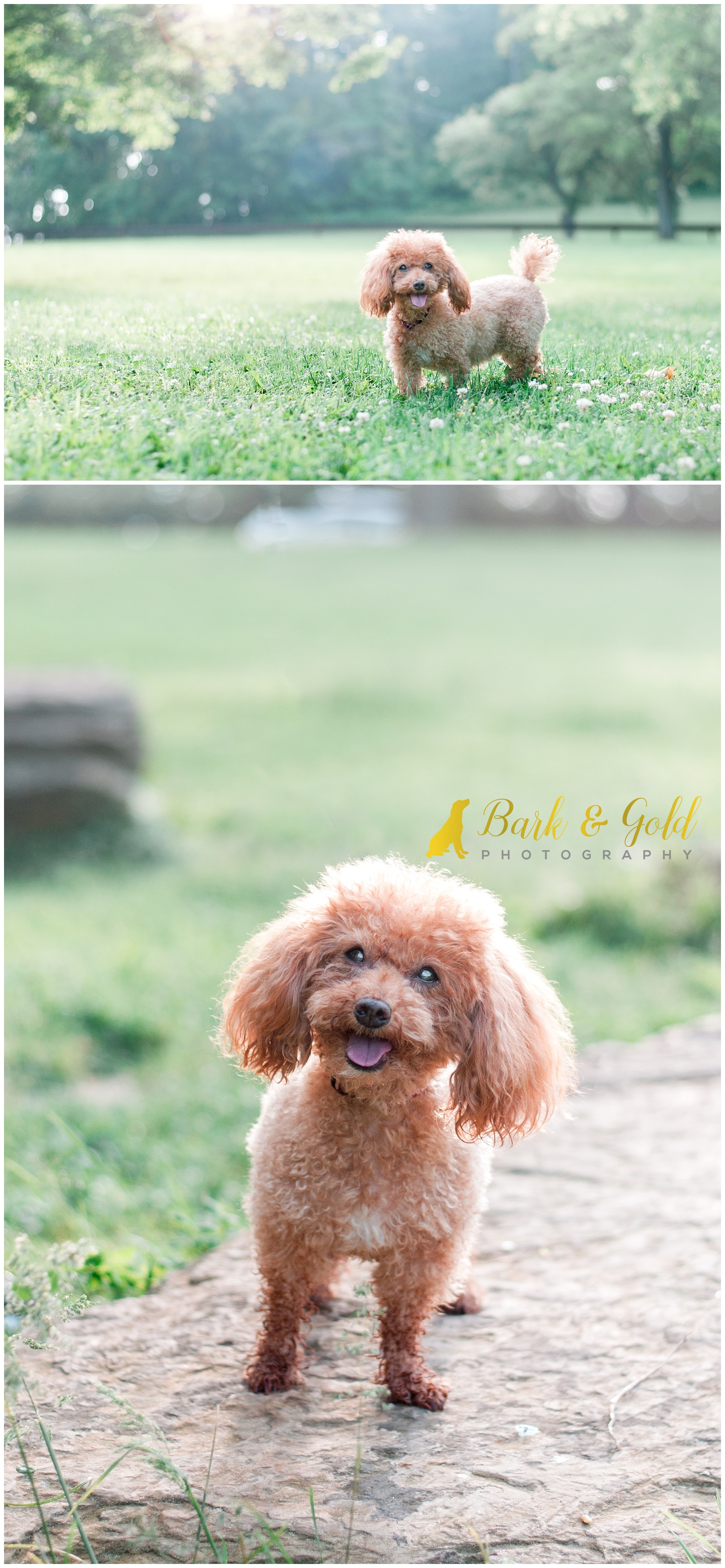 rescued miniature poodle explores a field in South Park