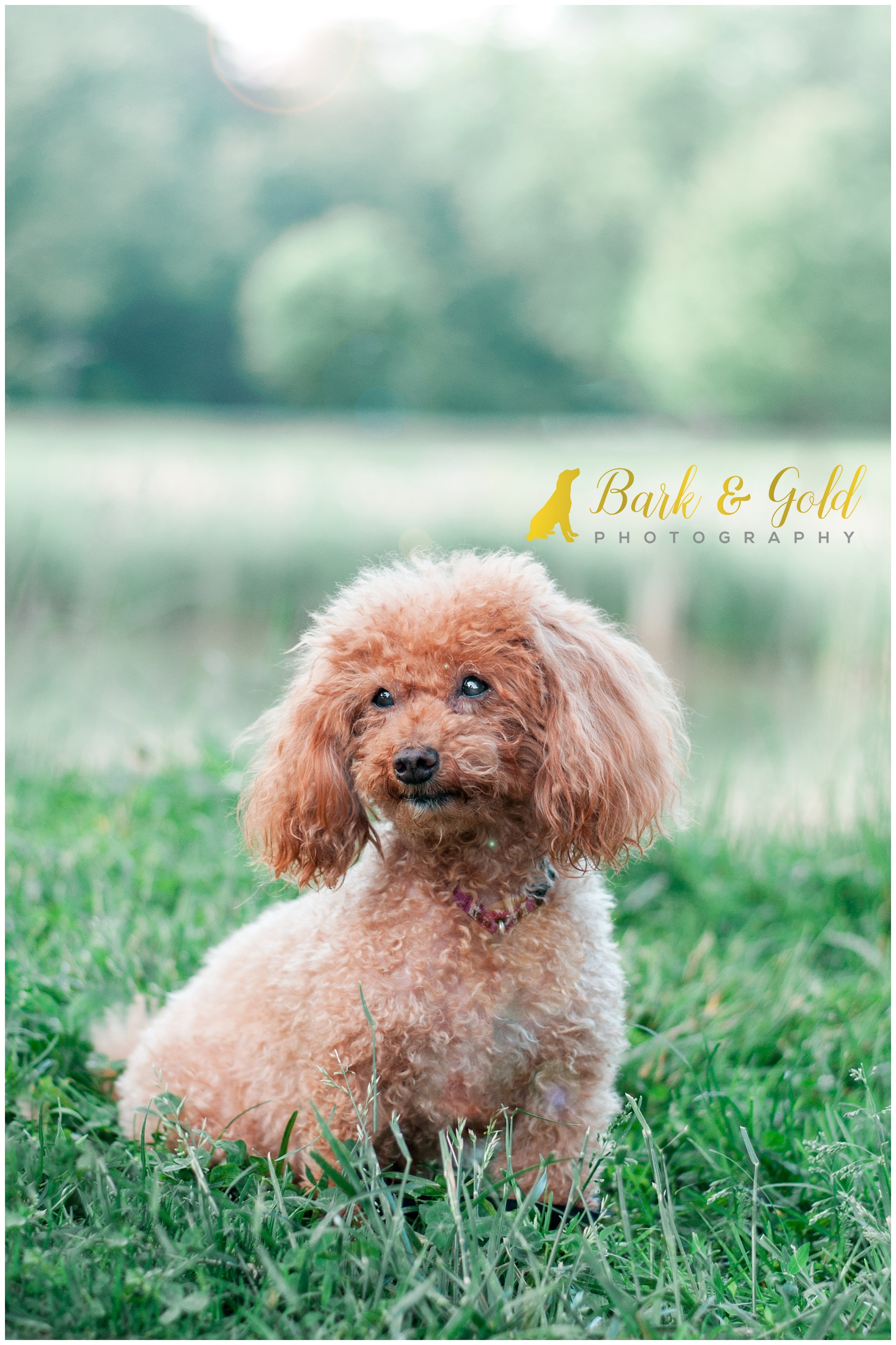 rescued miniature poodle sits by the Maple Springs Gazebo pond in South Park