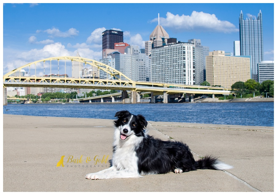 search and rescue border collie in downtown Pittsburgh