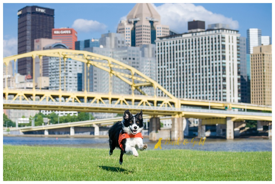 border collie racing through a grassy field on Pittsburgh's North Shore