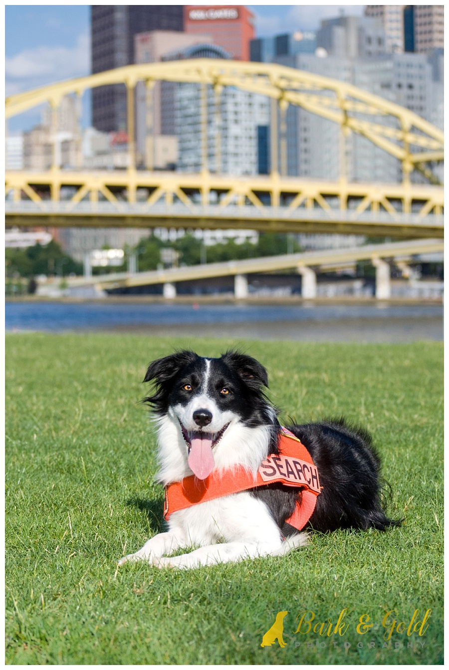 search and rescue border collie showing off her vest