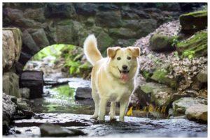 Finn the Husky/Retriever Mix - Schenley Park Pet Photography
