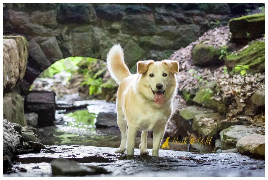 husky/retriever mix standing in a creek at Schenley Park