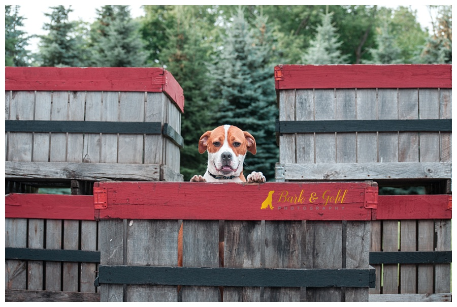 pit bull puppy climbing in apple crates at Davenport Fruit Farm