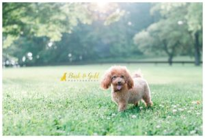 Featured Work: Ginger the Miniature Poodle on The Daily Dog Tag