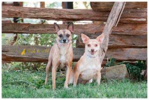 Sandy & Tortola, Bonded Chihuahuas - South Park Pet Photography
