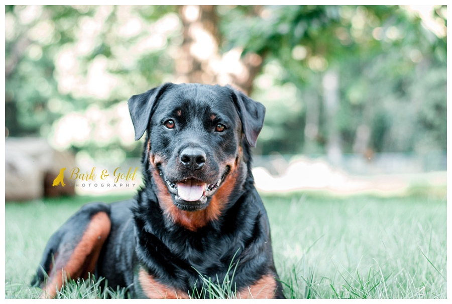 rottweiler smiling during a backyard pet session
