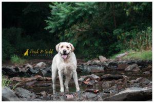 Huck the Labrador Retriever - Beaver County Pet Photography