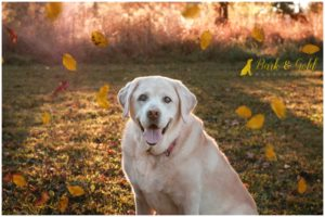 George the English Lab - South Park Pet Photography