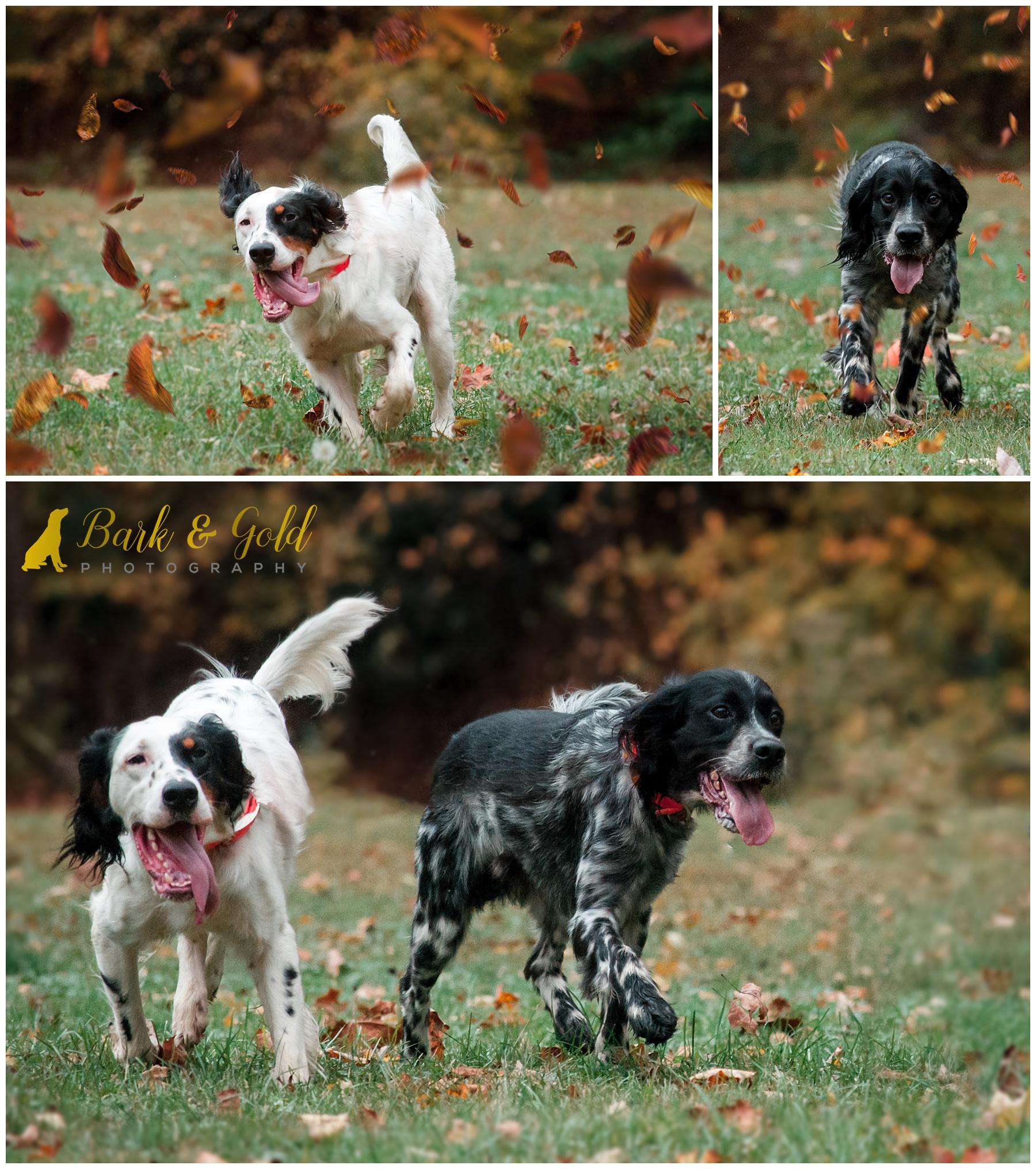 English Setters run among falling leaves at Brady's Run Park in Beaver County