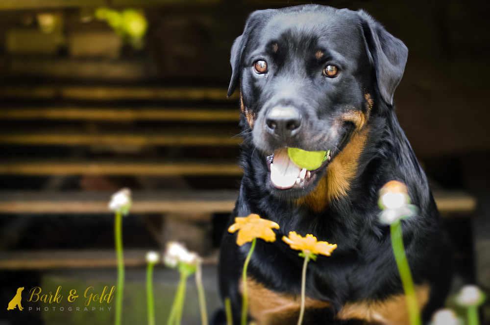 beautiful rottweiler poses with ball in her mouth during a backyard pet photography session