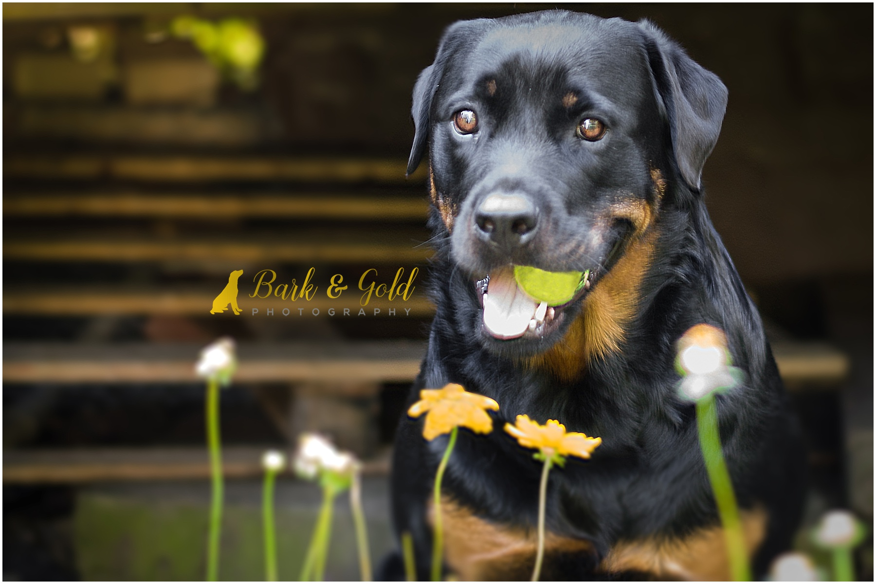 rottweiler holding tennis ball in her mouth by wildflowers