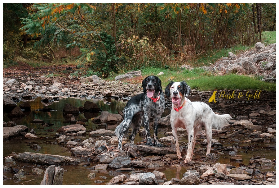 English setters playing in a creek at Brady's Run Park