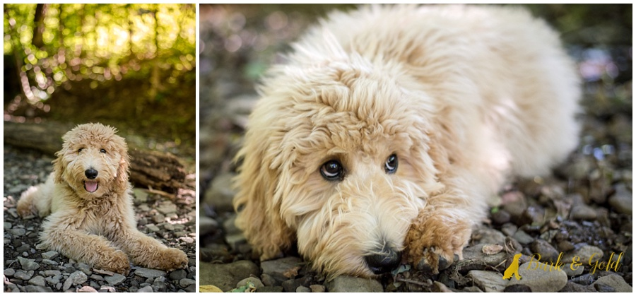 goldendoodle puppy relaxing in a rocky creek at Brady's Run Park in Beaver Falls