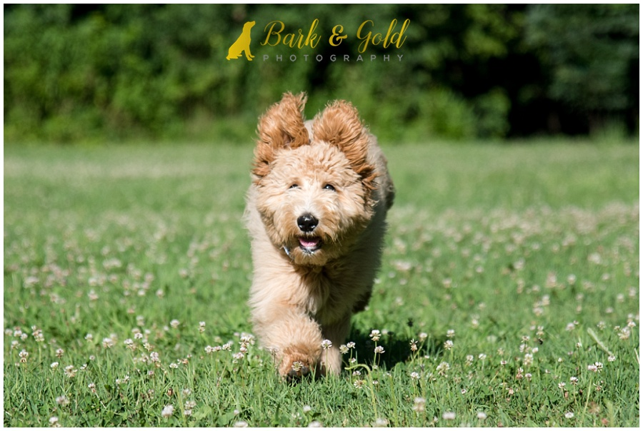 goldendoodle puppy with wild ears from running in a field at Brady's Run Park in Beaver Falls