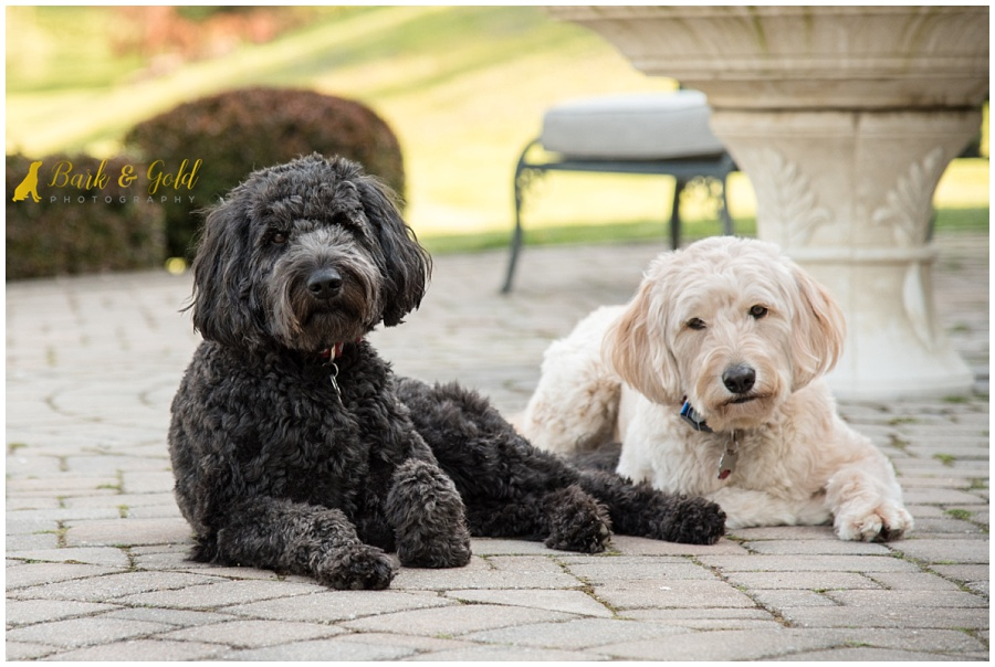 goldendoodles relaxing on a patio during a backyard session in Pittsburgh's North Hills
