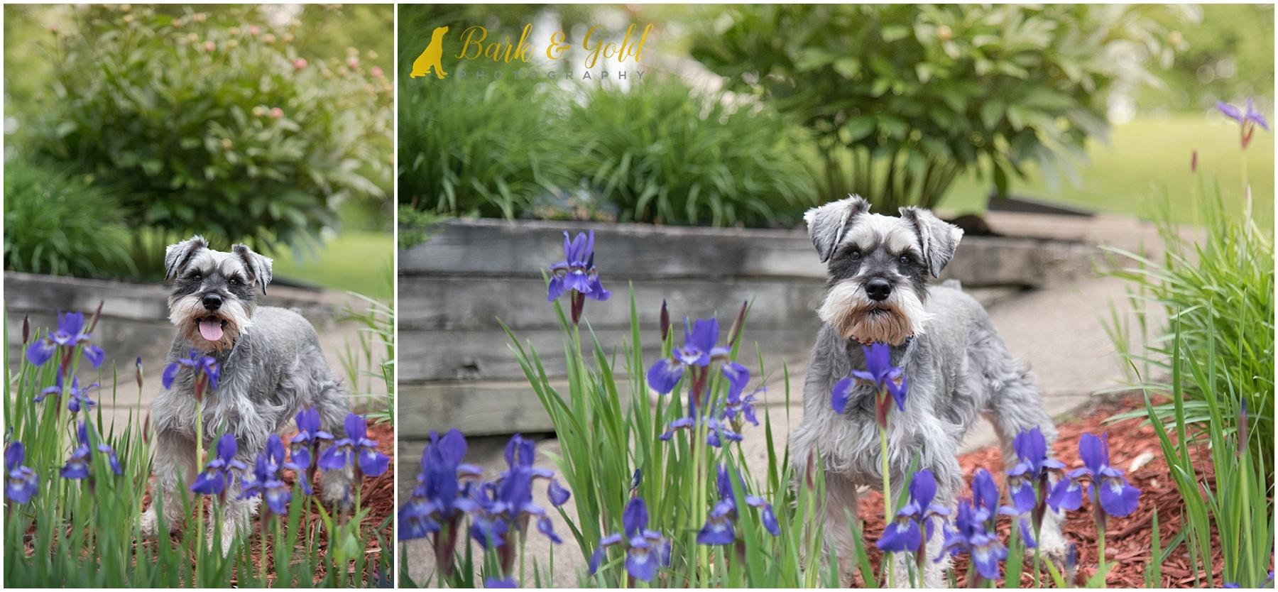 miniature schnauzer standing in purple iris garden