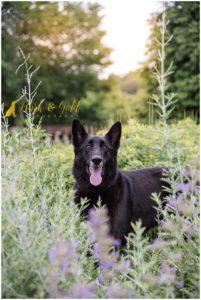 Toby the German Shepherd Mix - Pittsburgh Dog Photography