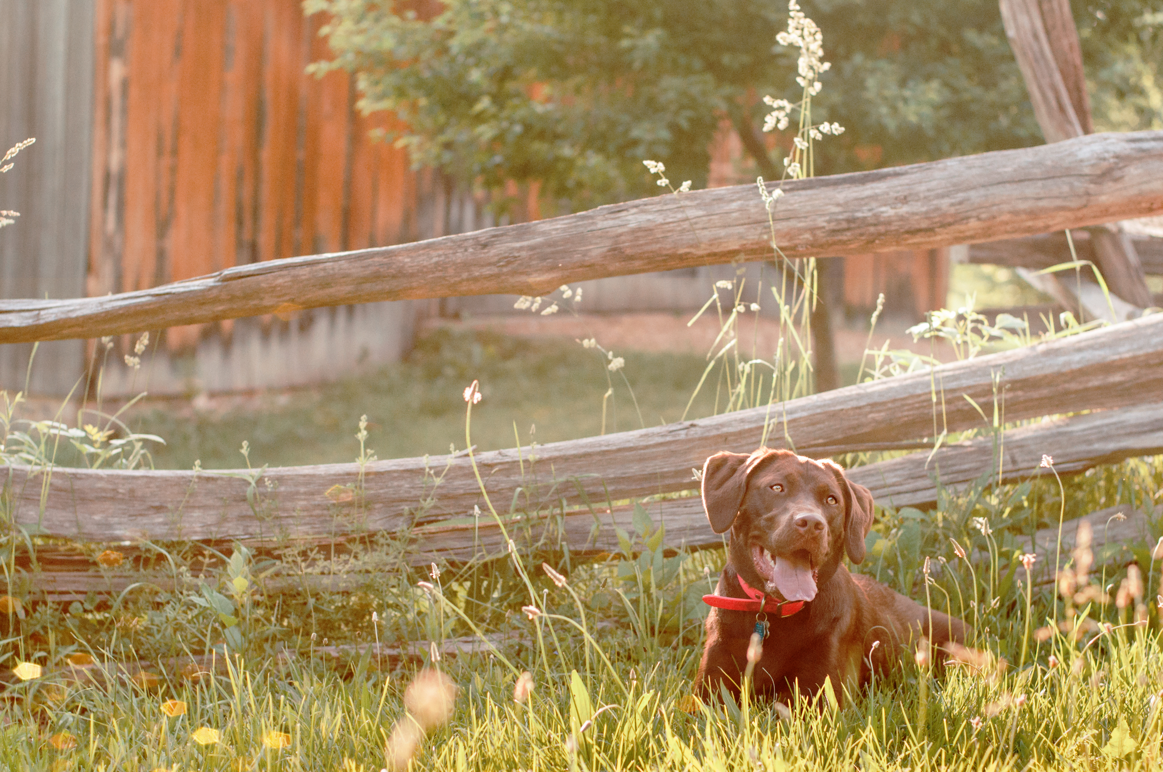 chocolate Lab resting by a sunlit fence in South Park