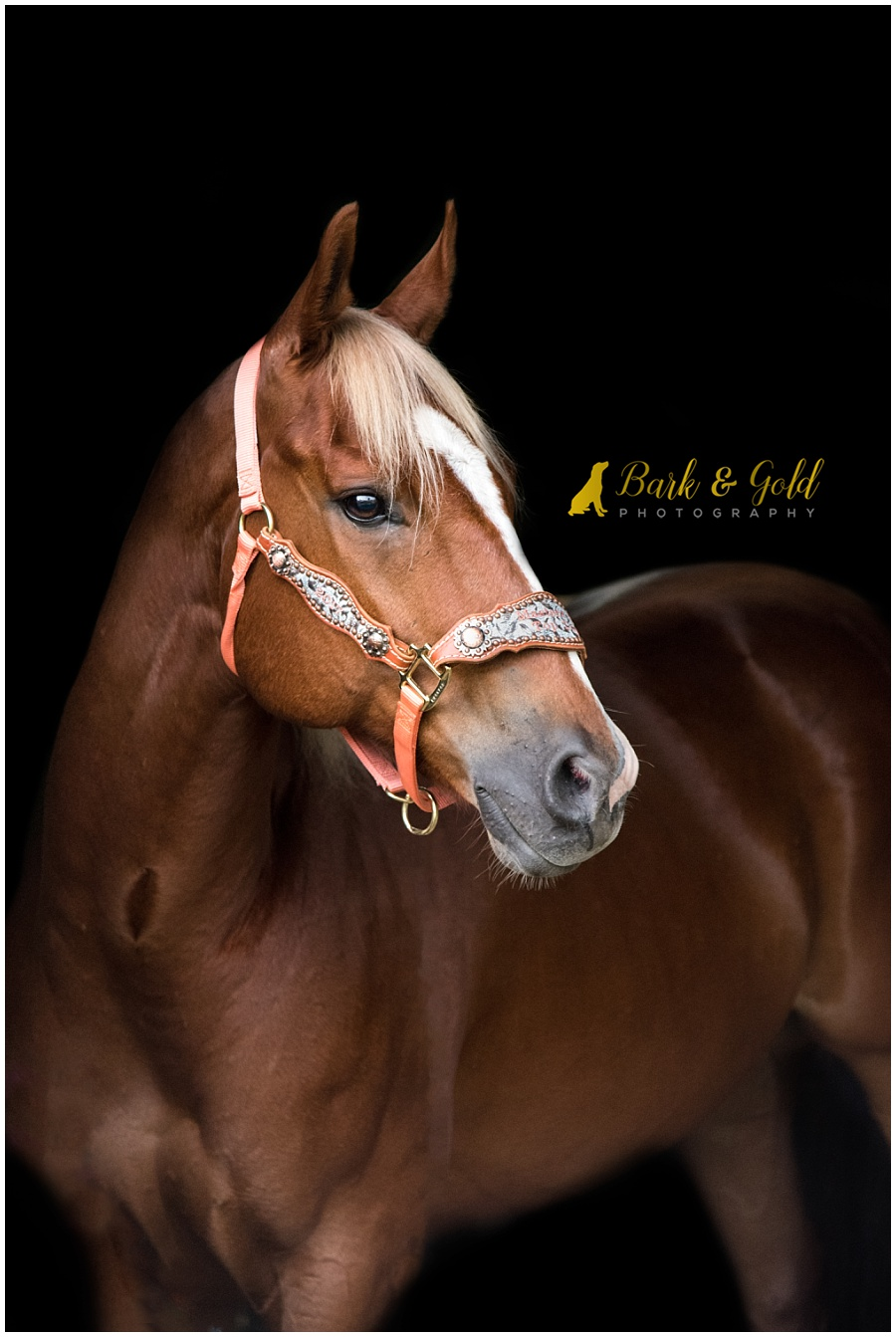 American Quarter Horse with black background of barn