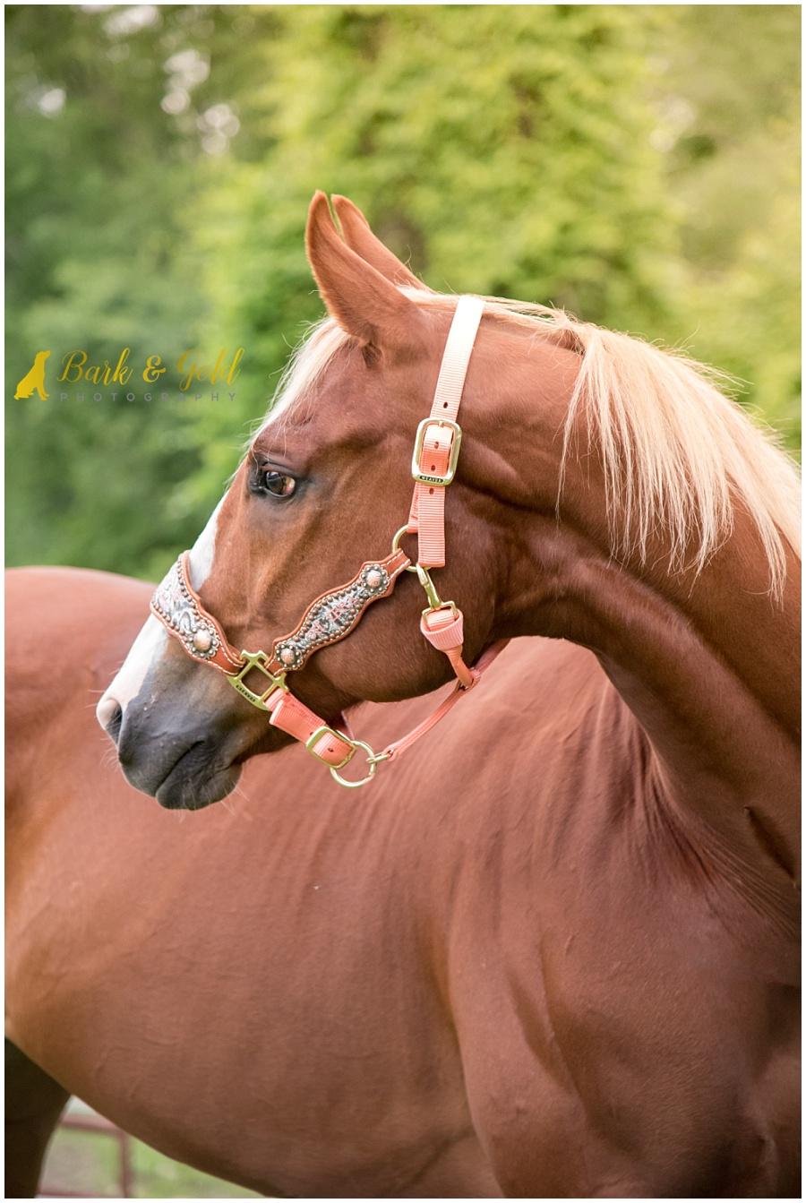 American Quarter Horse looking left
