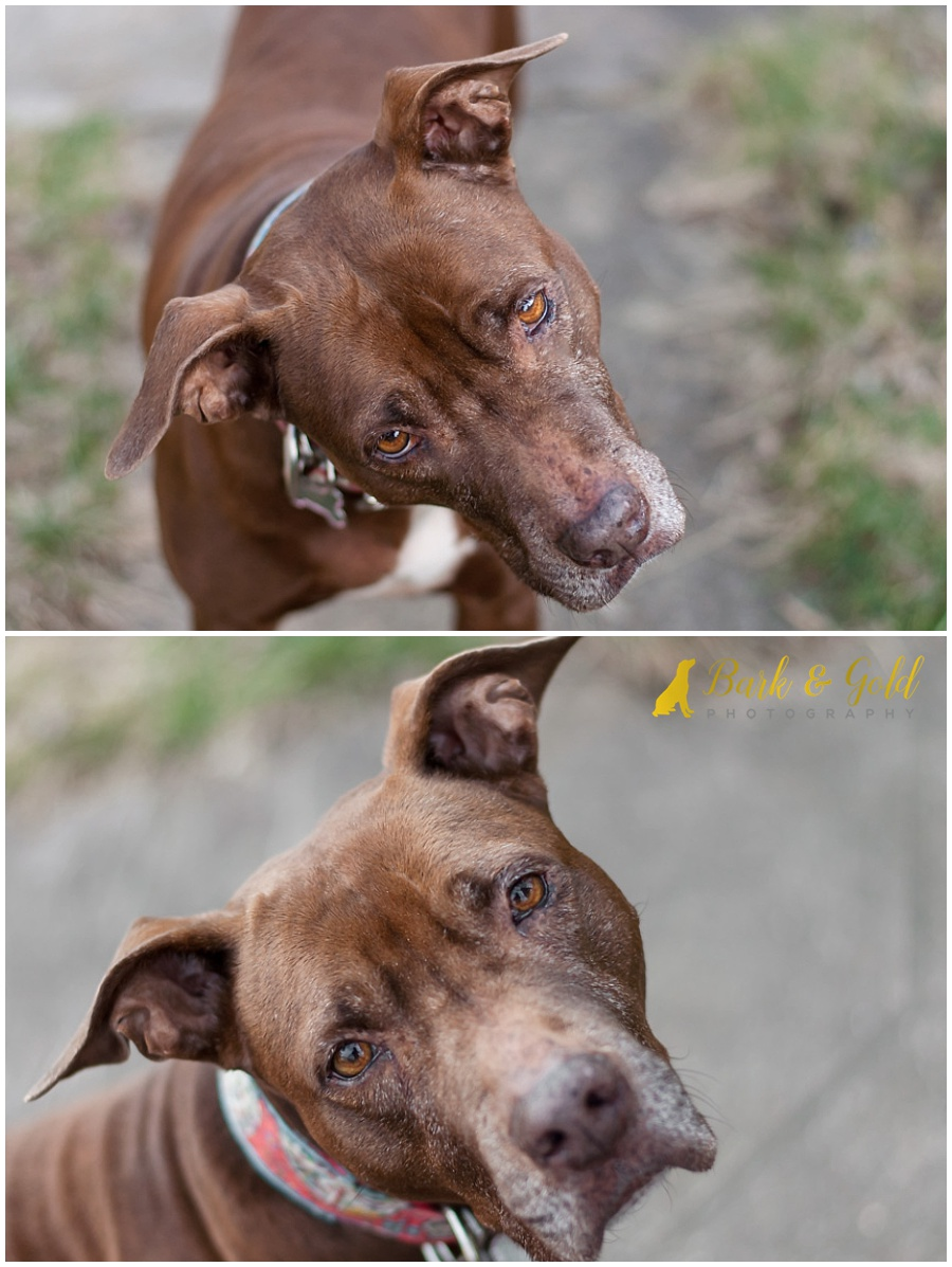 brown pit bull with an adorable head tilt