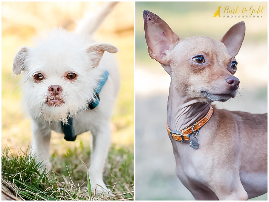 short-nosed Chihuahua and terrier mix