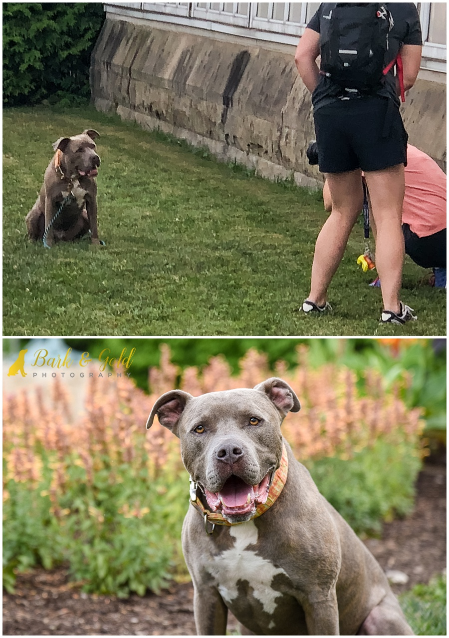 behind-the-scene comparison with final image of a pit bull at Phipps Conservatory