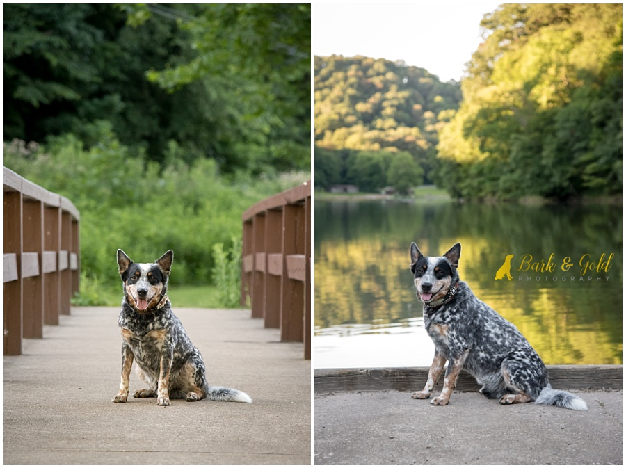 Blue Heeler dog on a bridge by a lake at Brady's Run Park in Beaver Falls