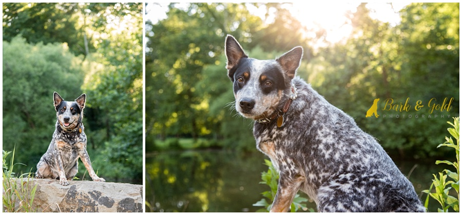 Blue Heeler against a sunlit treeline at Brady's Run Park in Beaver Falls
