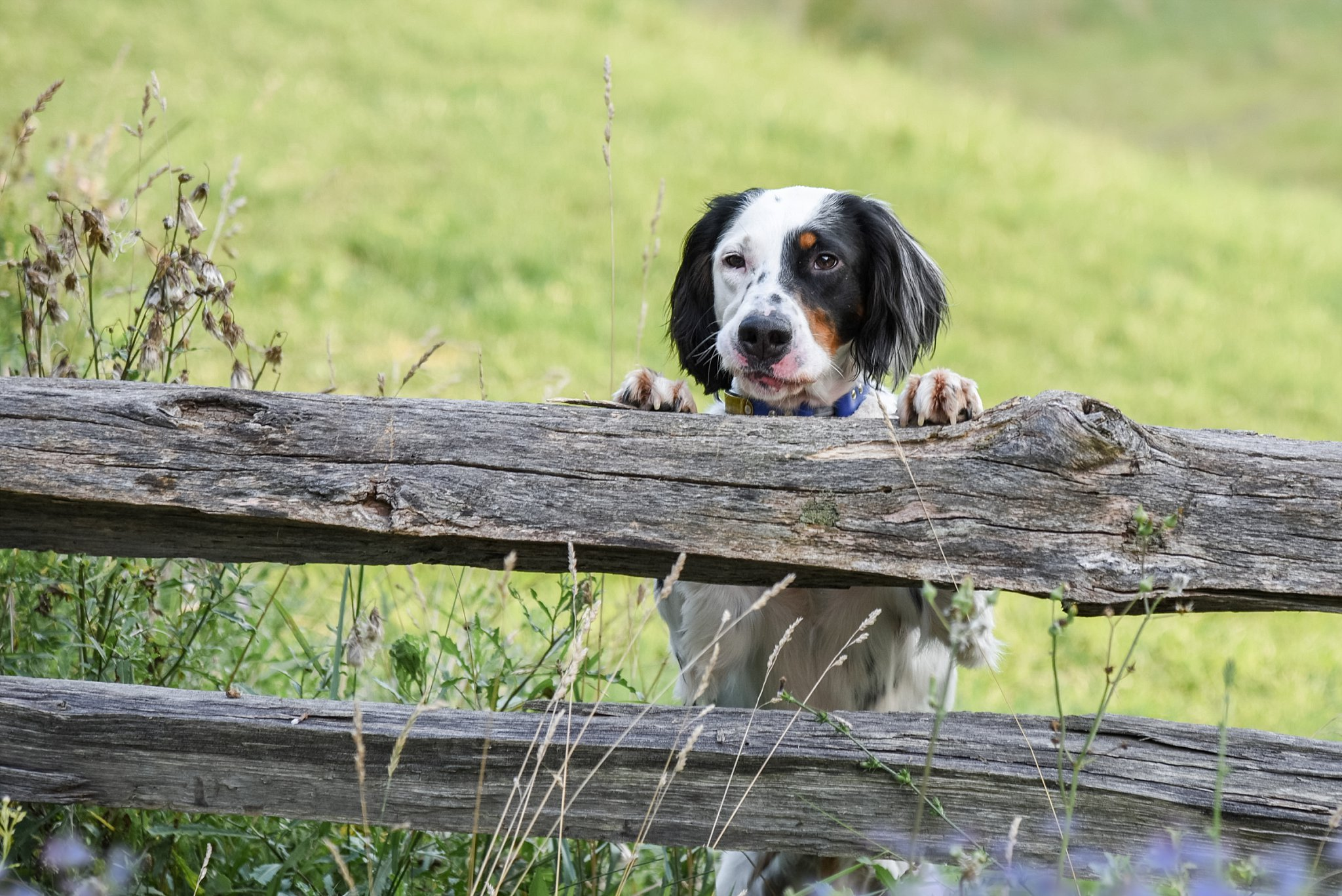 black and white English Setter on split rail fence at South Park