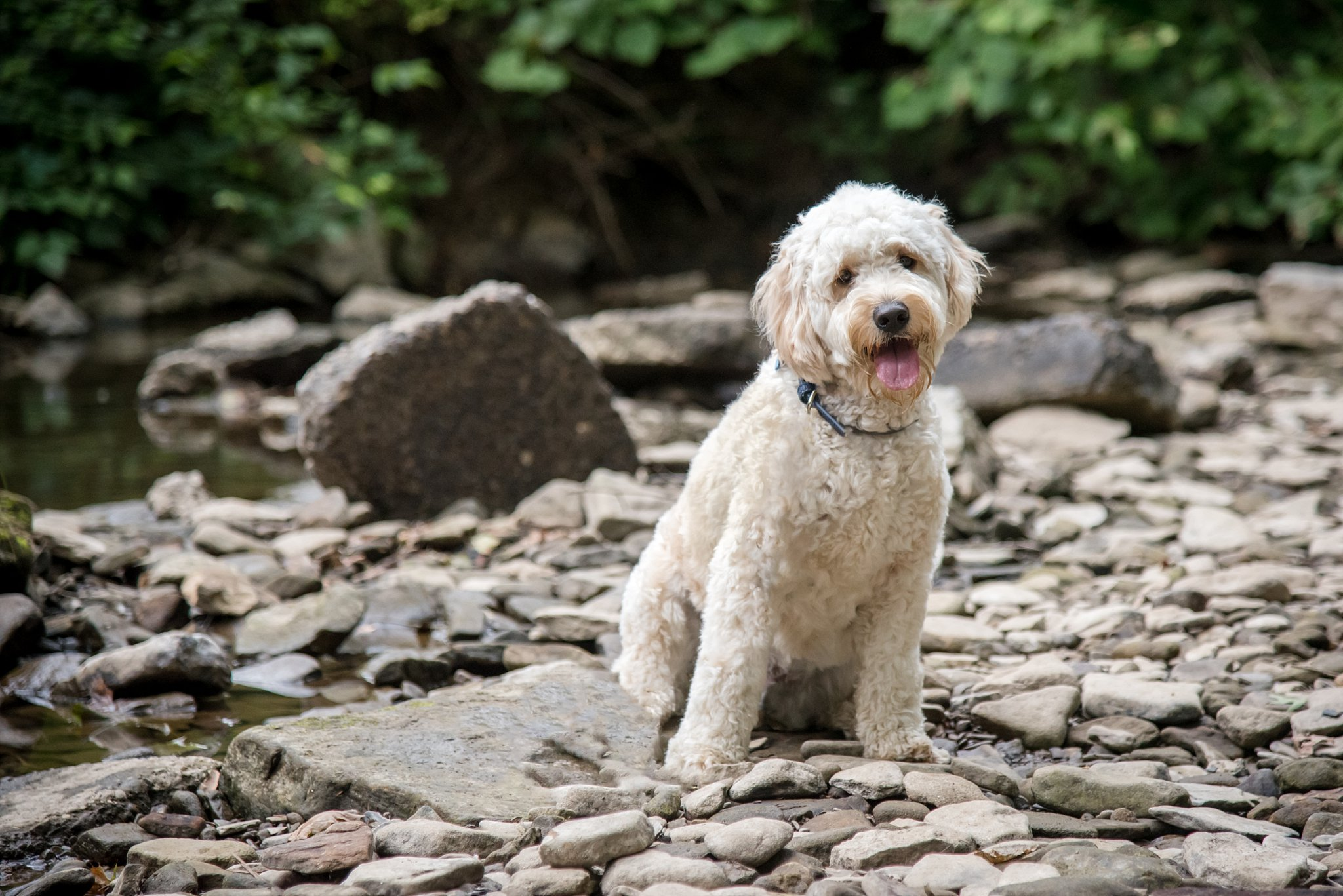 goldendoodle puppy sitting in a rockbed by a creek at Brady's Run Park in Beaver Falls