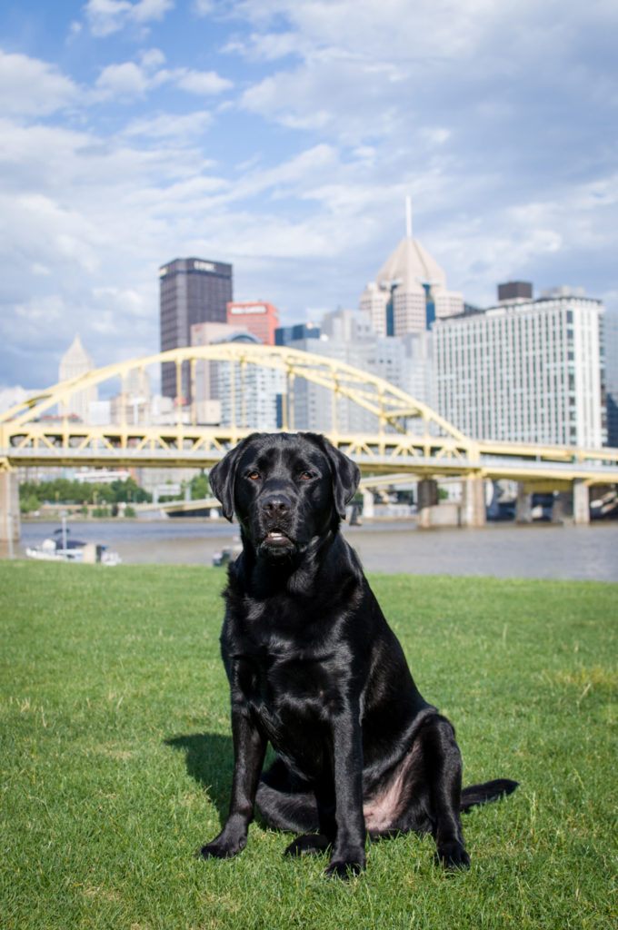 black lab sitting in grassy area in front of downtown pittsburgh skyline