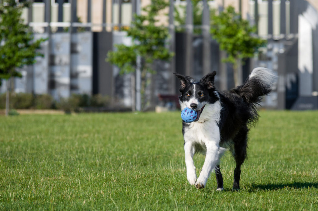 border collie running with ball in downtown pittsburgh