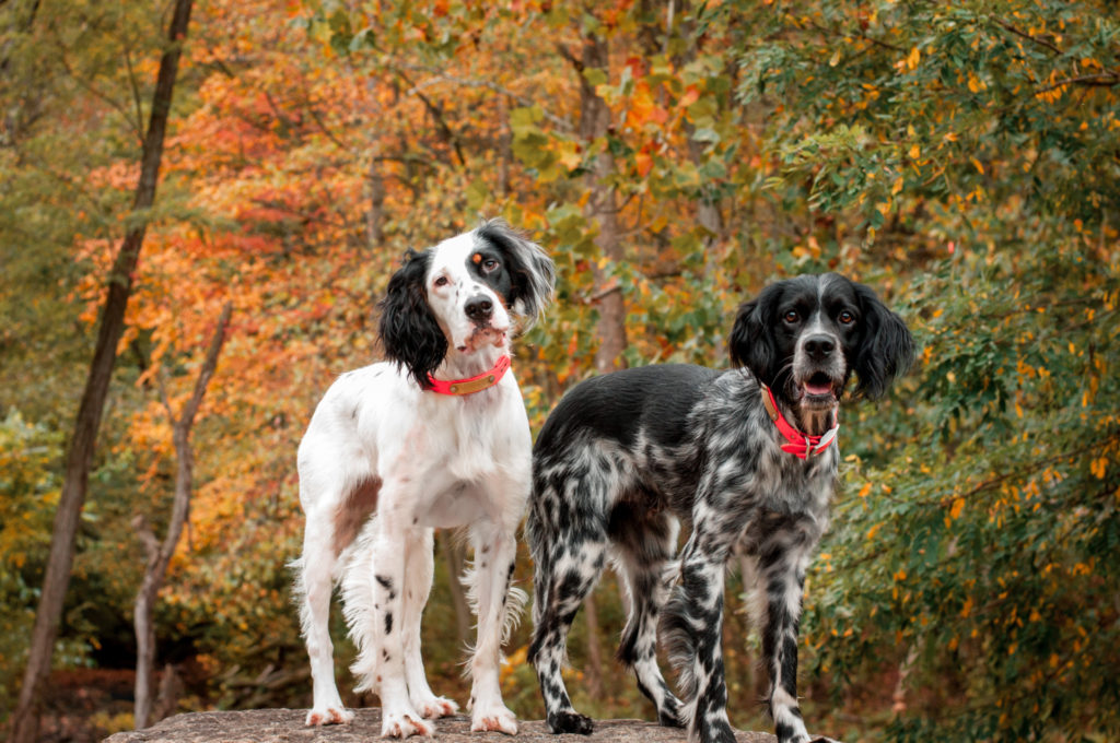 english setters during autumn at brady's run park near pittsburgh