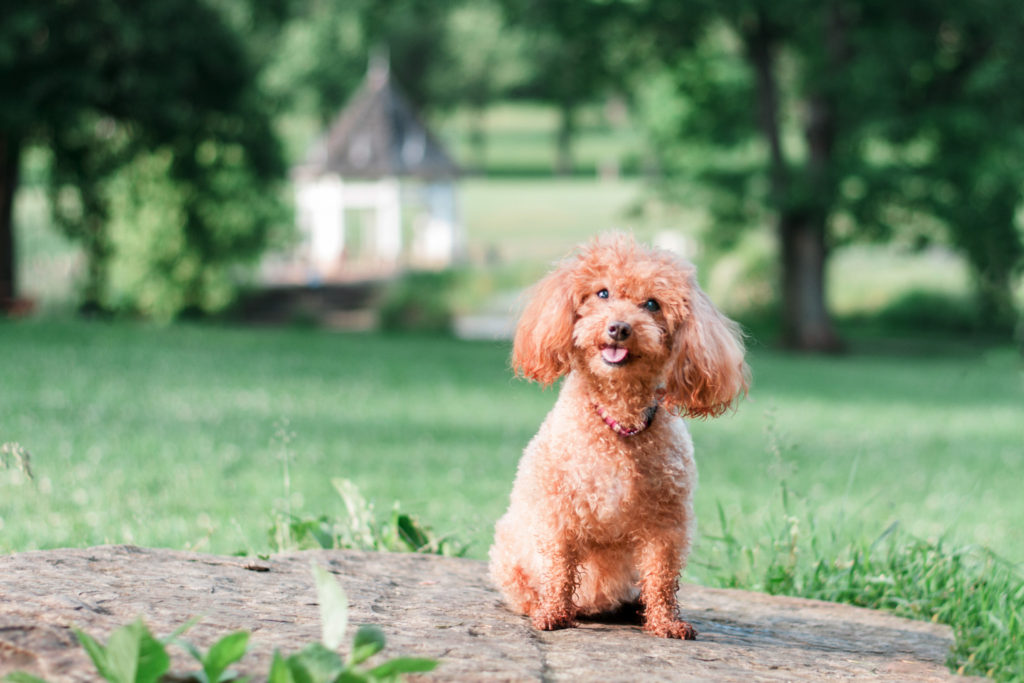 miniature poodle poses on a rock at south park maple springs gazebo near pittsburgh