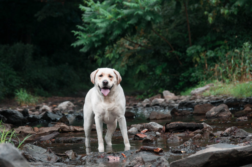 yellow lab wades in a creek at brady's run park near pittsburgh