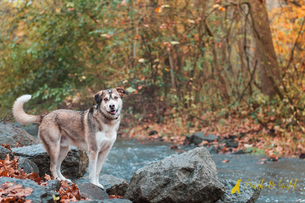 Siberian retriever on rocks near a stream in Brady's Run Park in Beaver County
