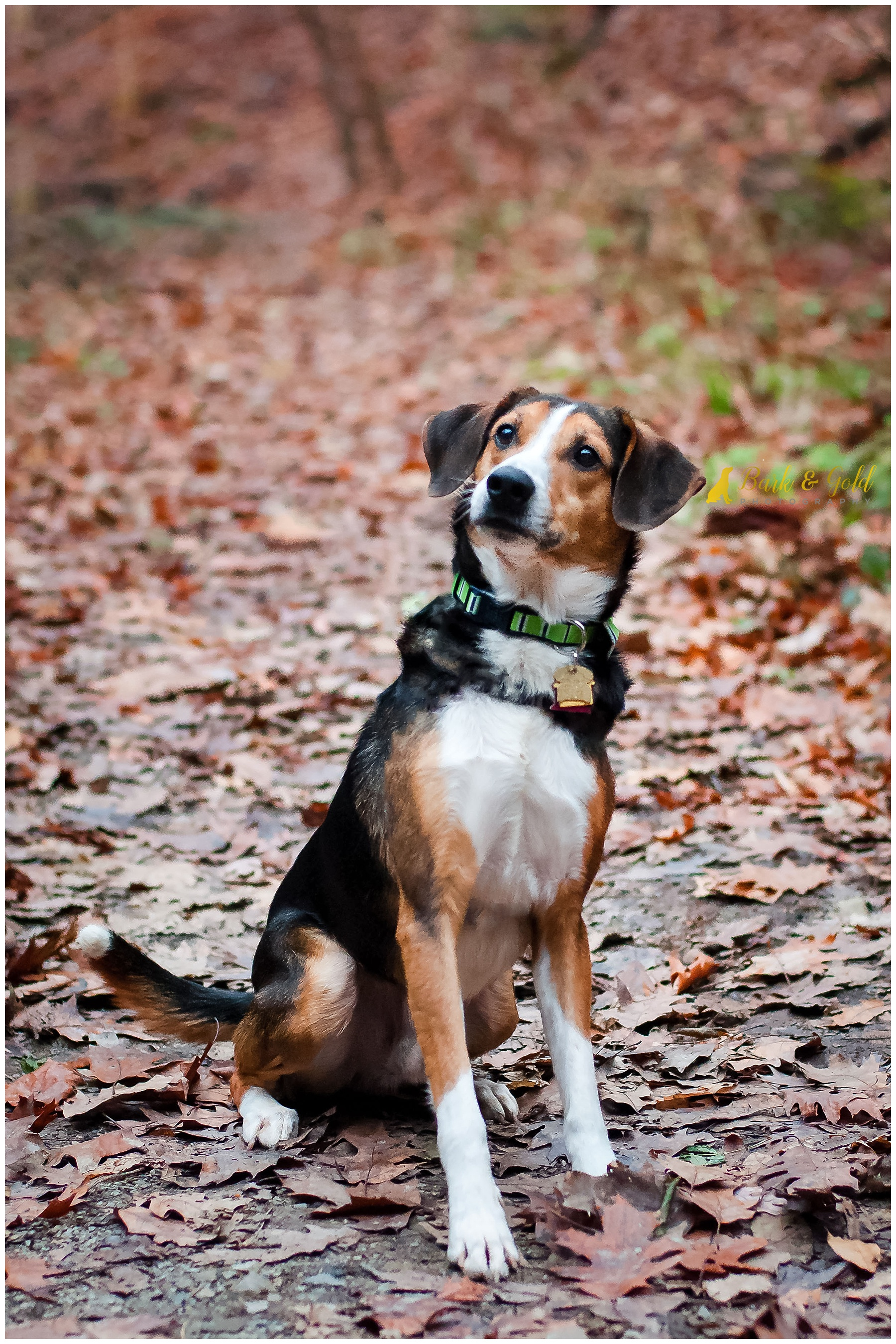 before-and-after of beagle posing on leaf-covered trail in schenley park