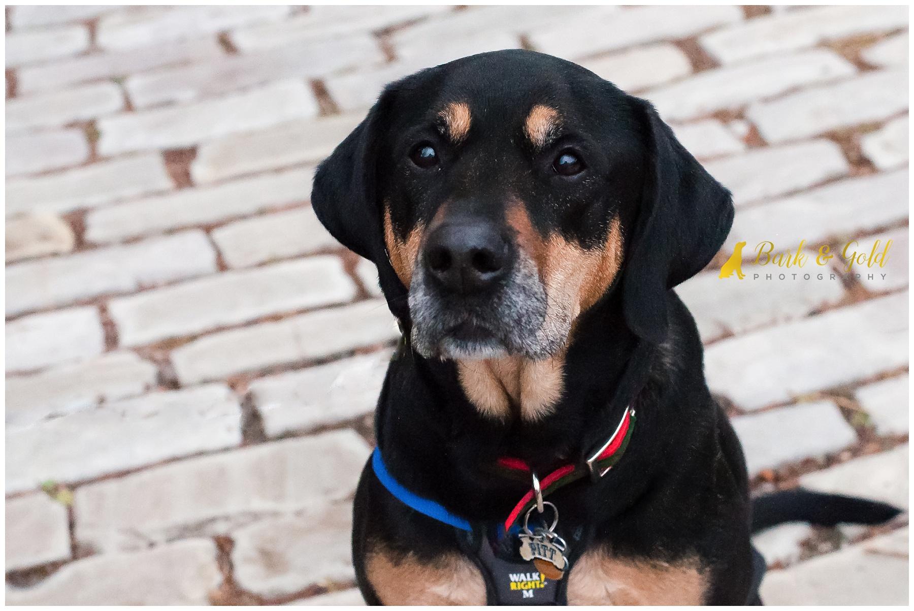 rottweiler-coonhound mix on cobblestone at schenley park in pittsburgh