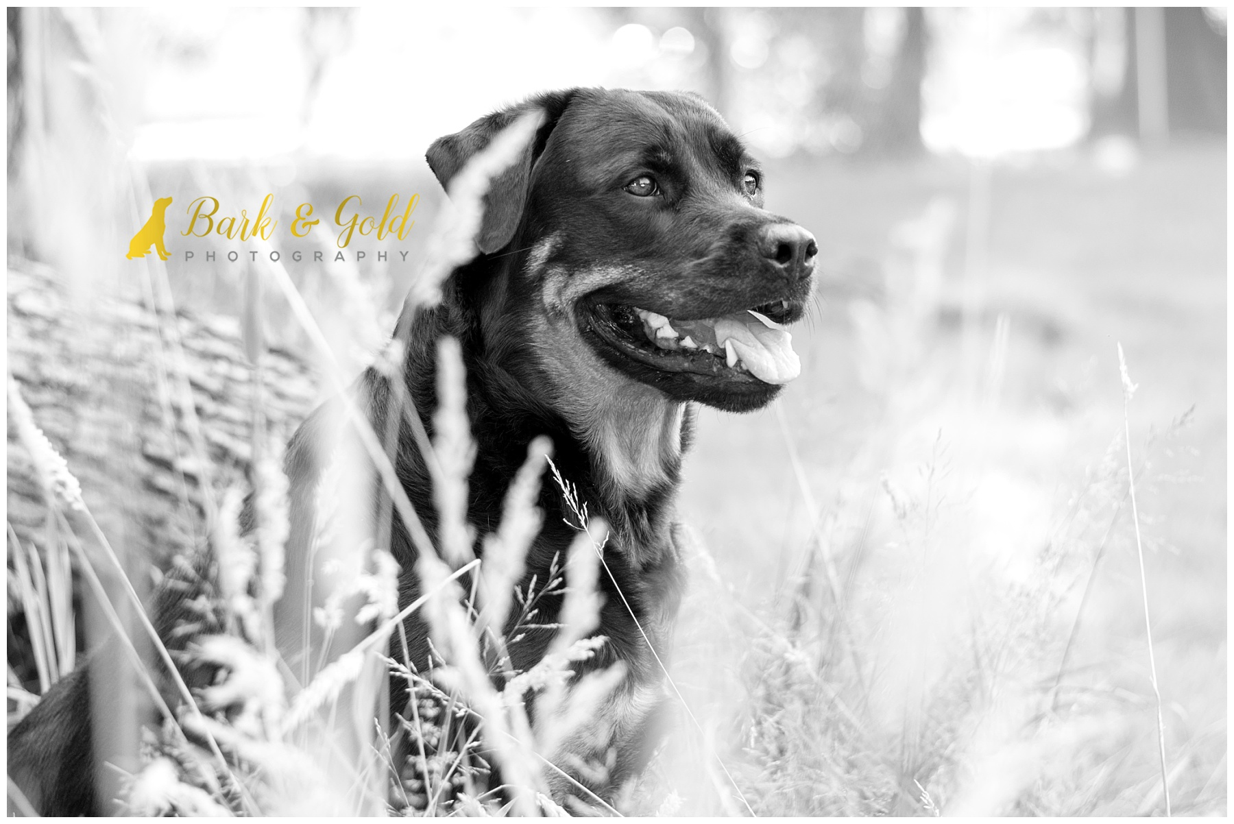 rottweiler rests among a plot of wheat grass during backyard session