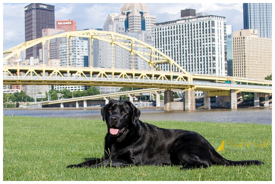 black Lab soaking up the sun on Pittsburgh's North Shore