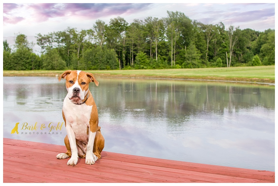 pit bull puppy sitting on the dock by a pond at Davenport Fruit Farm