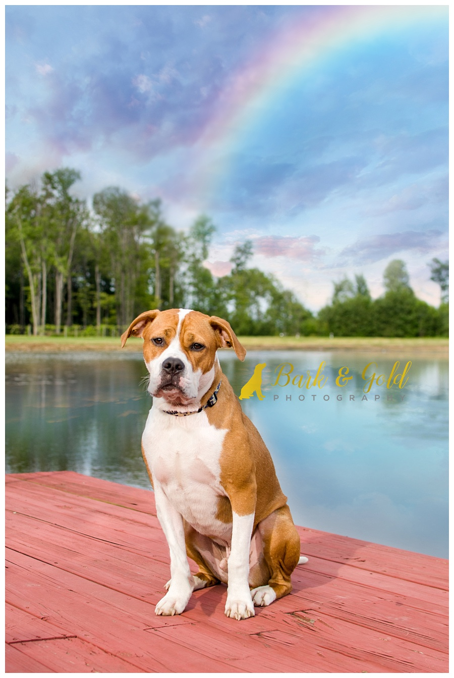 pit bull puppy sitting beneath a rainbow at Davenport Fruit Farm
